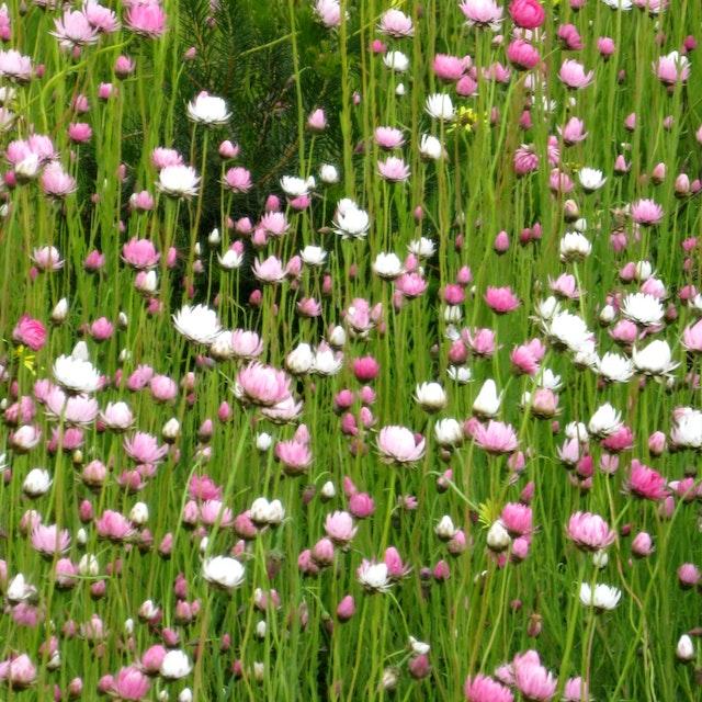 Nukara flowers 3